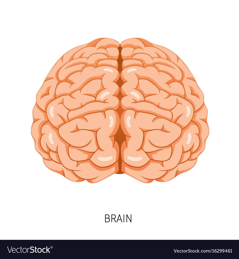 Diagram Of Internal Organs Brain Human Internal Organ Diagram