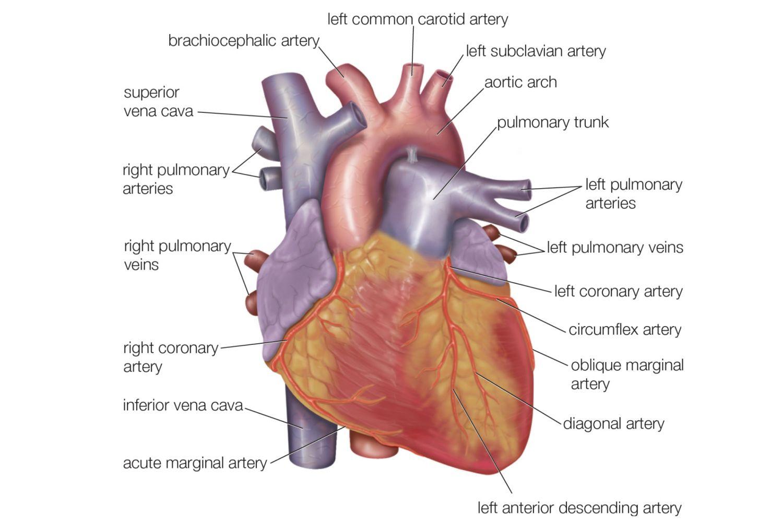 Diagram Of Internal Organs Diagram Of Internal Organs From The Back Electrical Wiring Diagram