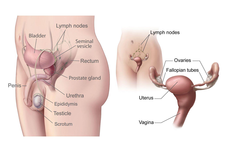 Diagram Of Internal Organs Female Internal Organs Diagram New Male And Female Gonads Testes And
