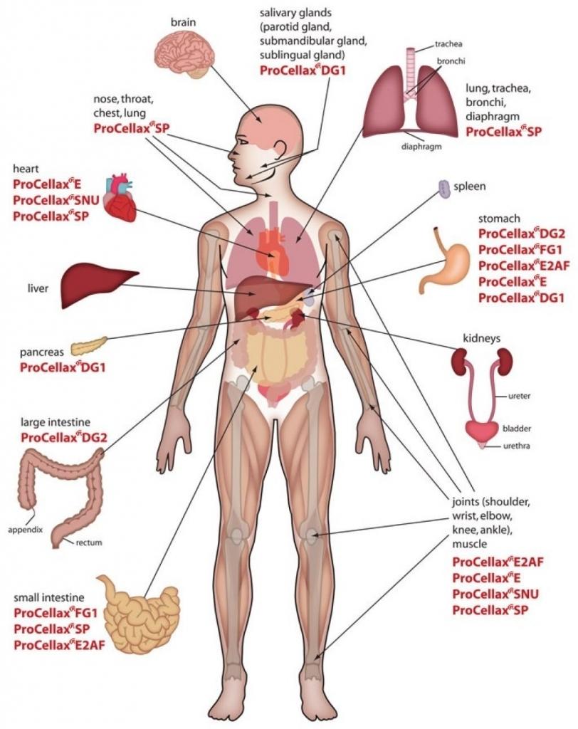 Diagram Of Internal Organs Human Anatomy Chart Internal Organs