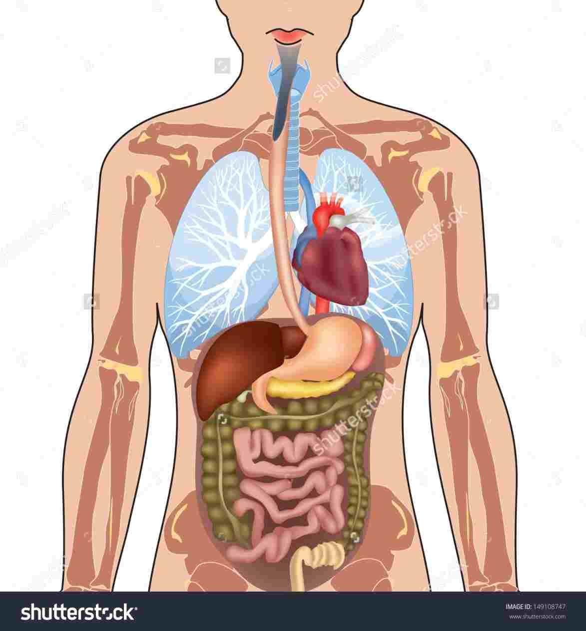 Diagram Of Internal Organs Human Diagram Of Internal Organs Diagram Of Anatomy
