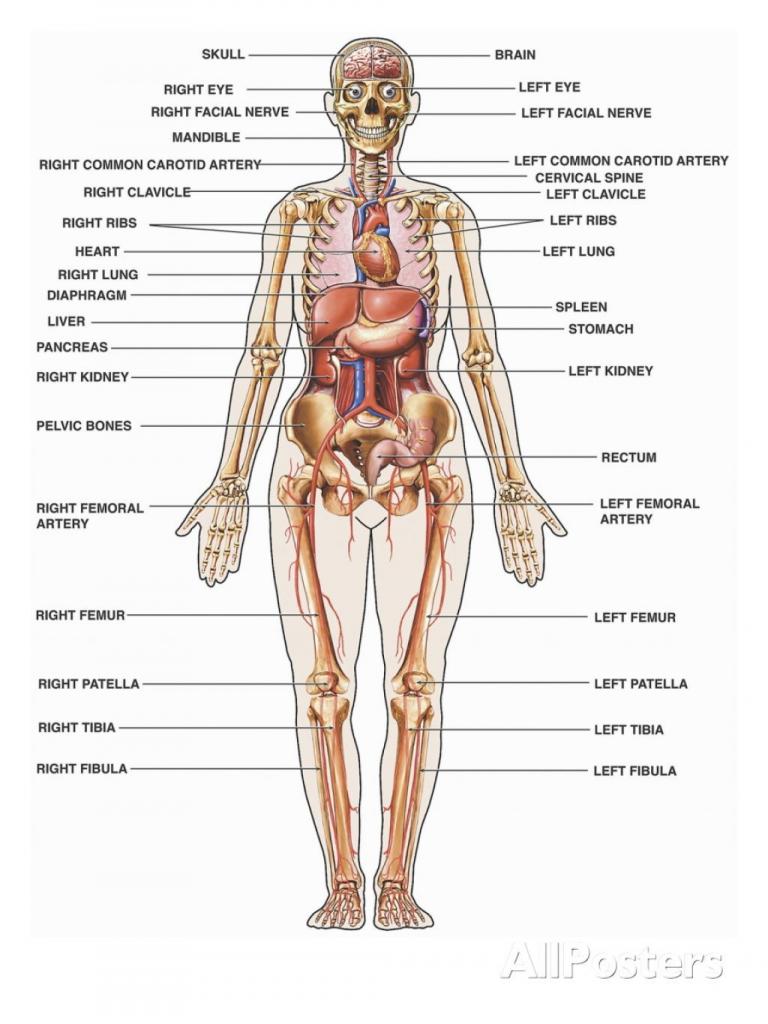 Diagram Of Internal Organs Humbody Organs Drawing At Getdrawings Free For Personal Use