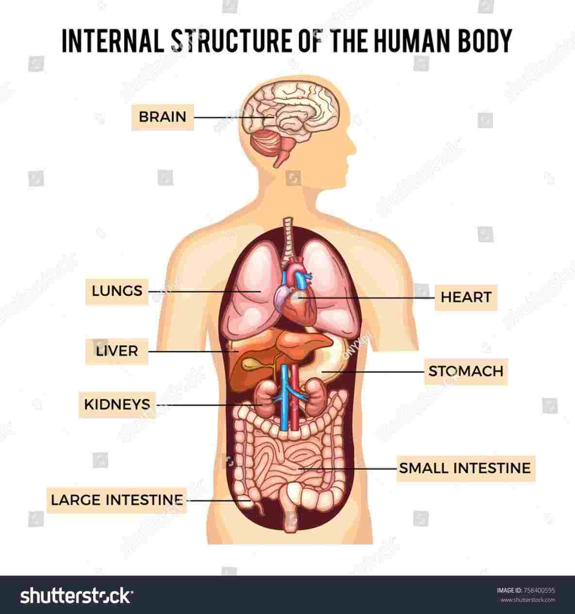 Diagram Of Internal Organs Rhpinterestcom Picture Dream Human Internal Diagram Of The Human
