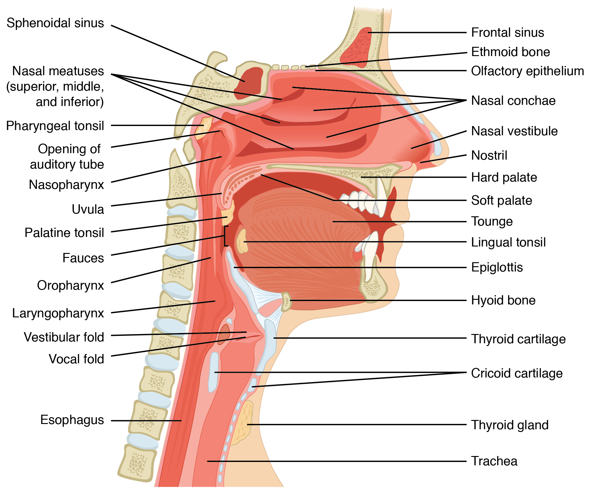 Diagram Of Respiratory System 221 Organs And Structures Of The Respiratory System Anatomy And