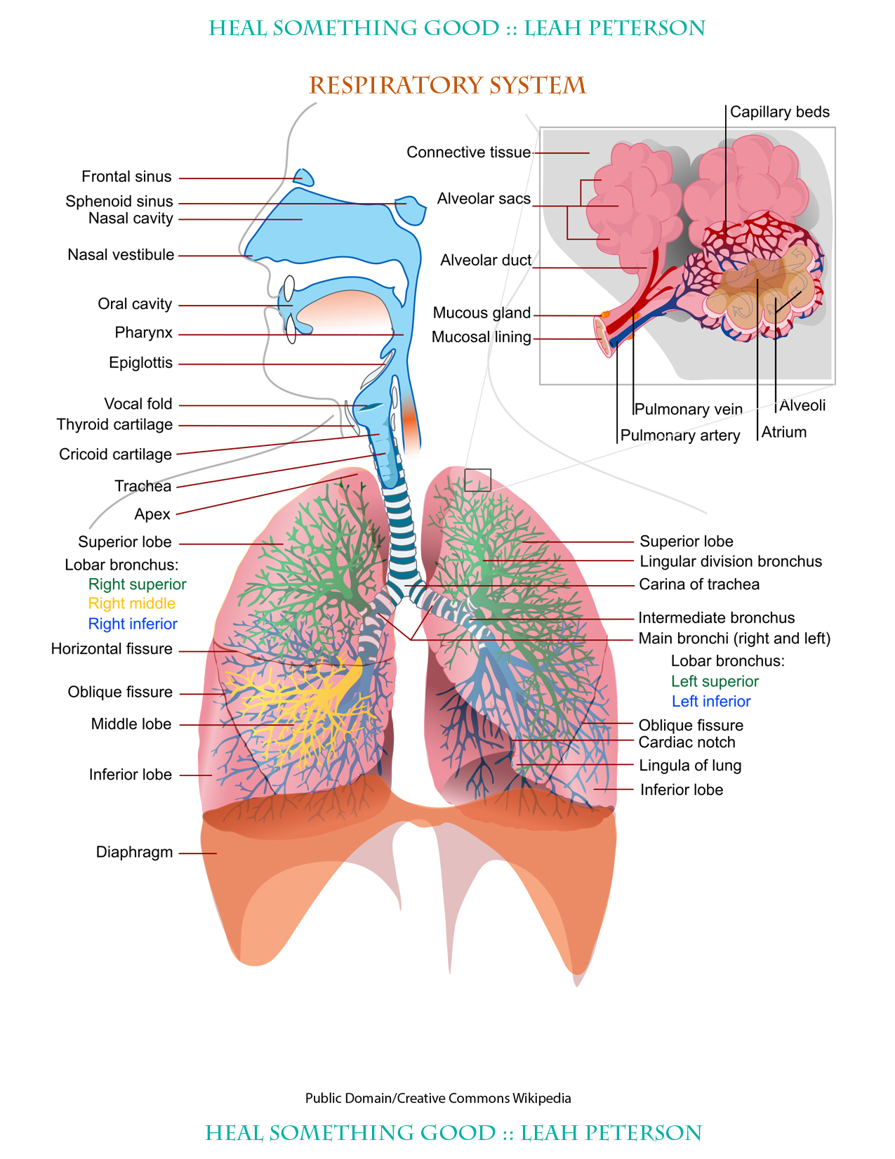 Diagram Of Respiratory System Chart Respiratory System Heal Something Good