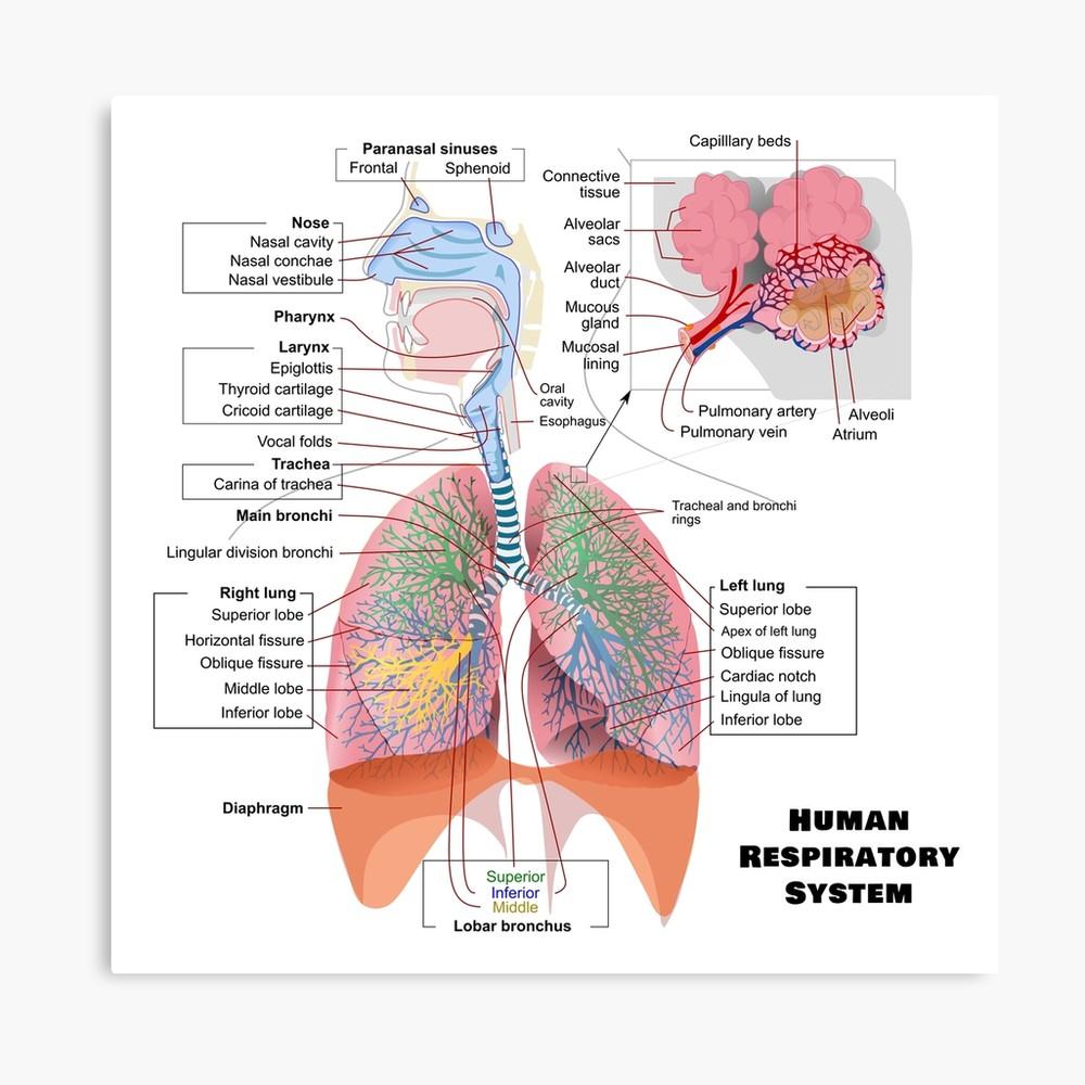 Diagram Of Respiratory System Human Respiratory System Diagram Canvas Print