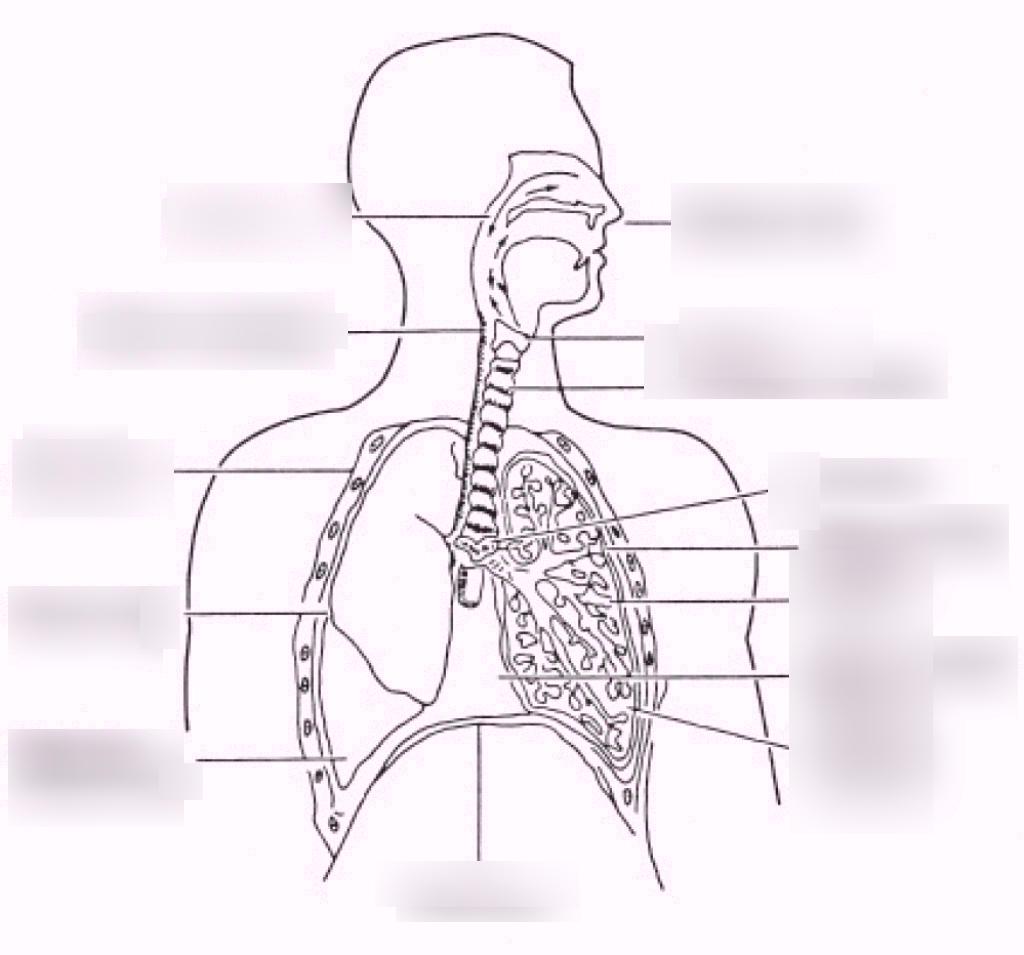 Diagram Of Respiratory System Respiratory System Diagram Diagram Quizlet