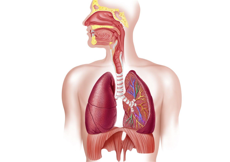 Diagram Of Respiratory System Respiratory System How We Breathe