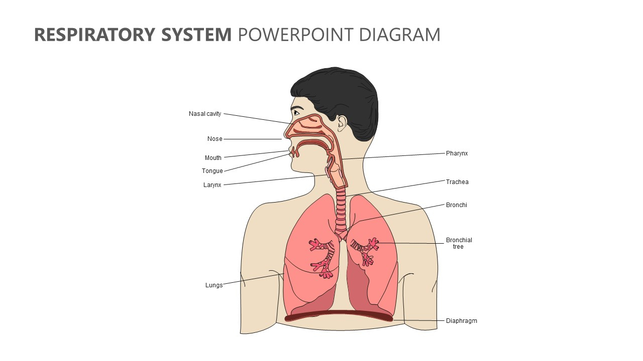 Diagram Of Respiratory System Respiratory System Powerpoint Diagram Pslides