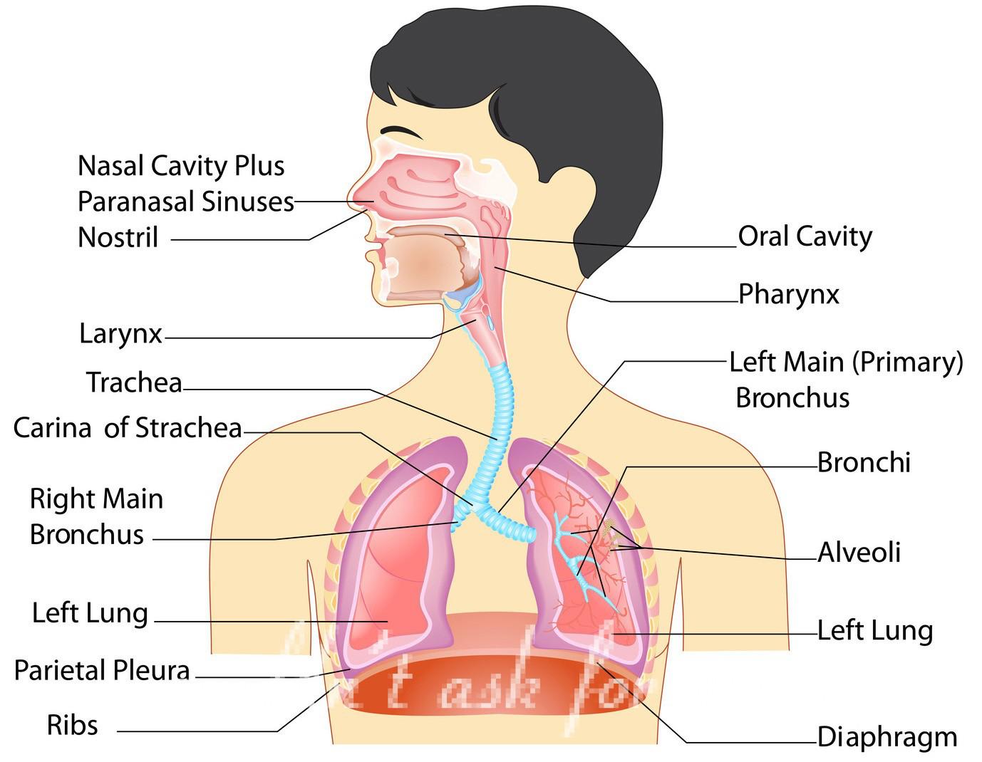 Diagram Of Respiratory System The Respiratory System Lesson 0393 Tqa Explorer