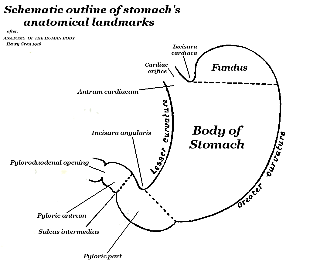 Diagram Of Stomach Filehuman Stomach Schematic External Anatomy Wikipedia
