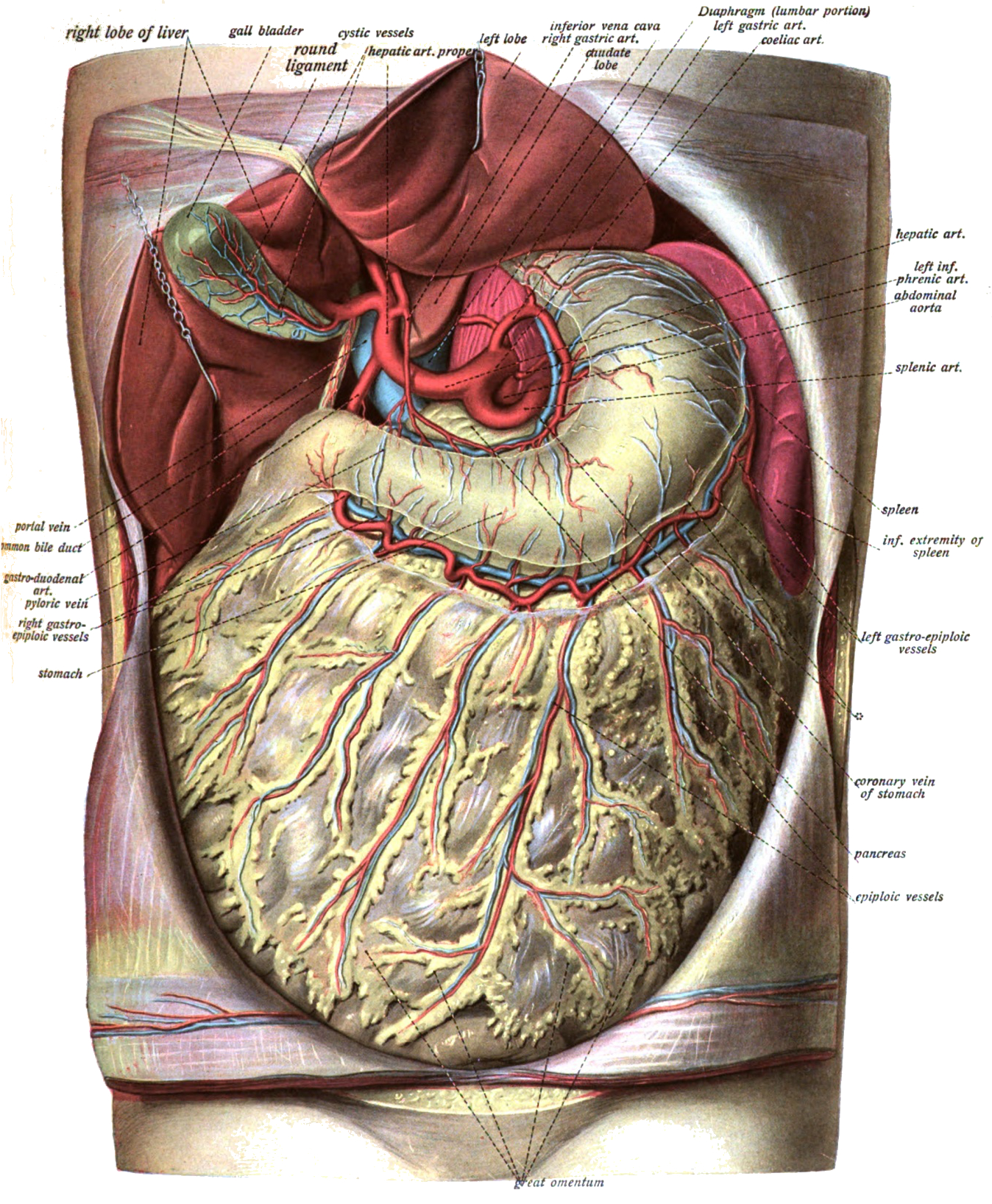 Diagram Of Stomach Greater Omentum Wikipedia