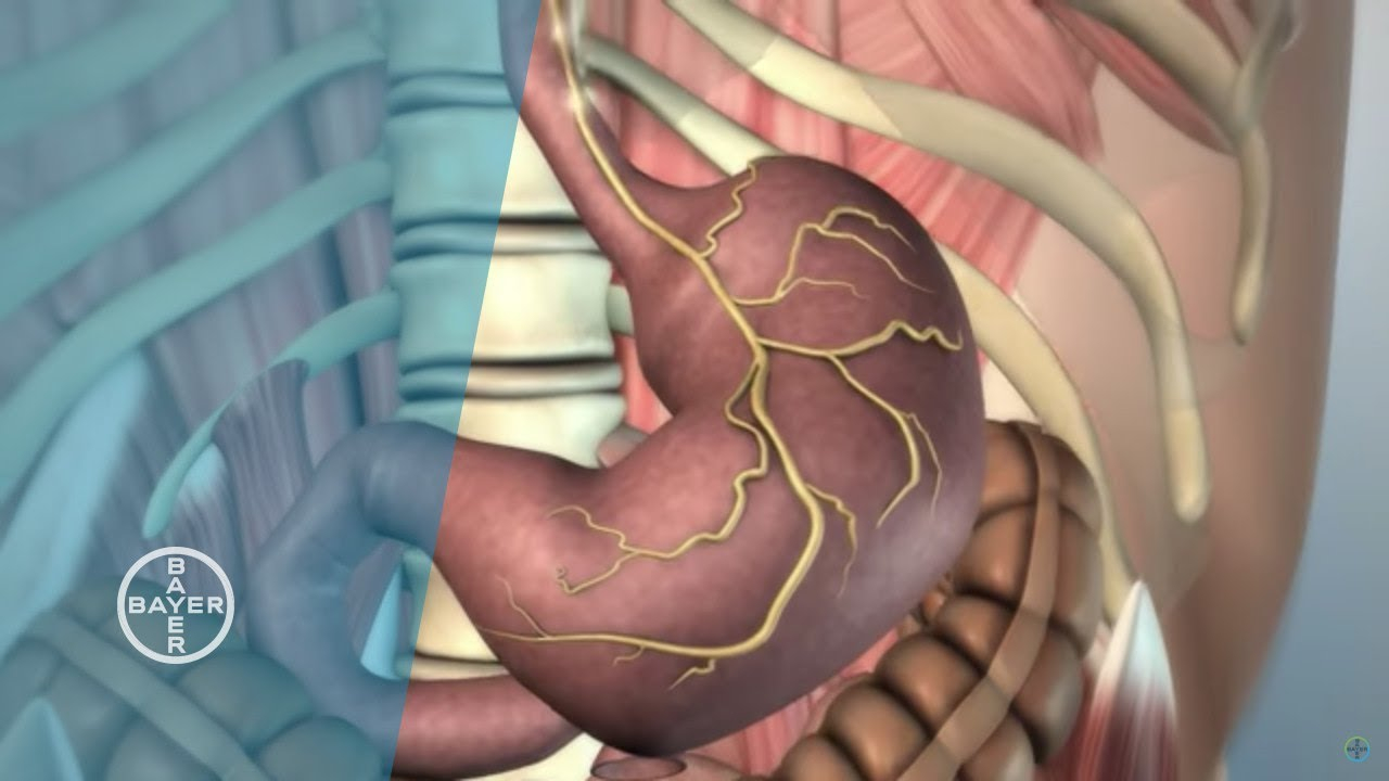 Diagram Of Stomach How Does The Stomach Function