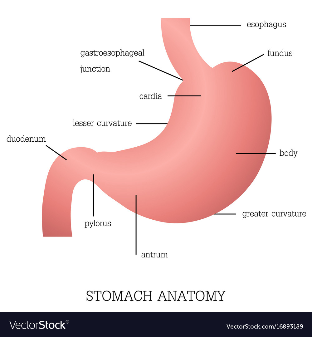 Diagram Of Stomach Structure And Function Of Stomach Anatomy System