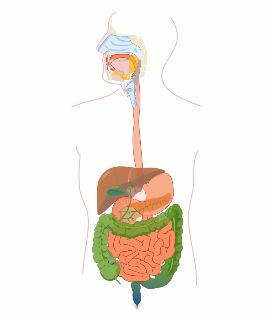 Diagram Of The Digestive System Digestive System Without Labels Digestive System Diagram No Labels