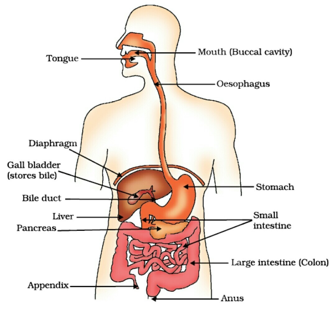 Diagram Of The Digestive System Easy Steps To Draw Human Digestive System Class 10 Ncert Write