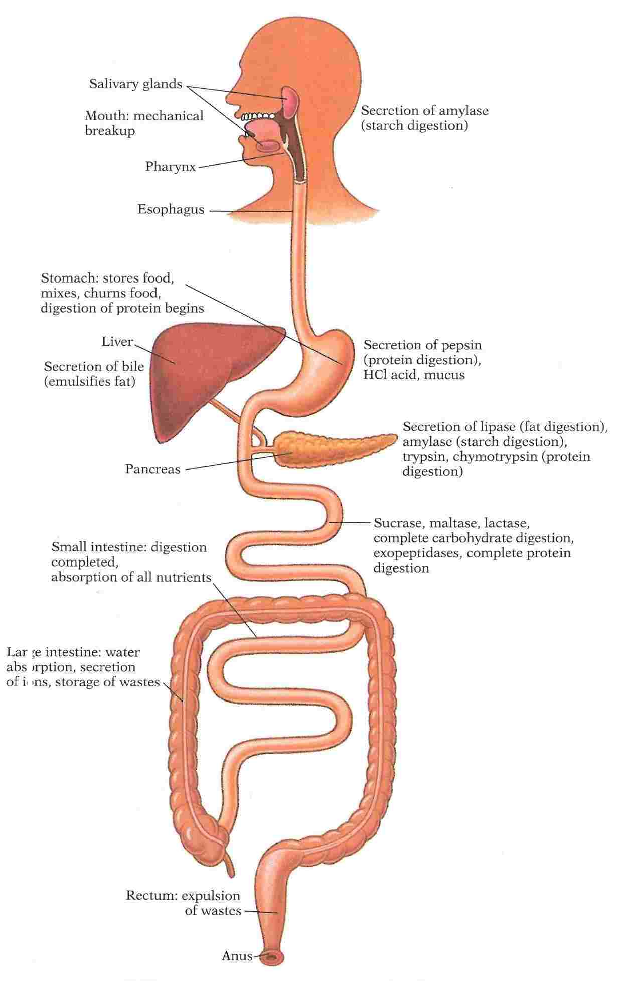 Diagram Of The Digestive System Flow Chart Digestive System Diagram Of Anatomy