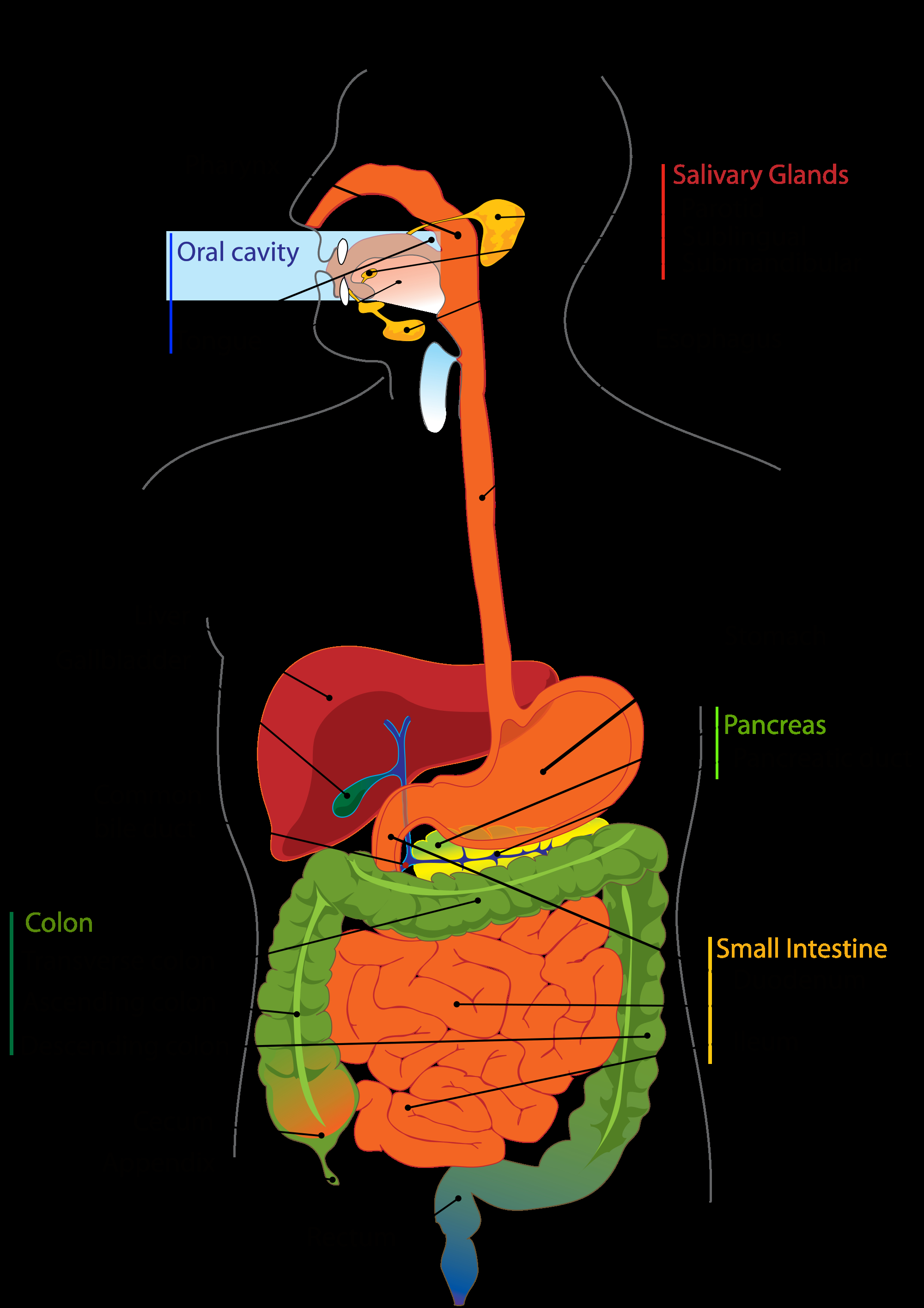 Diagram Of The Digestive System Human Digestive System And Digestion Of Carbohydrates Proteins And
