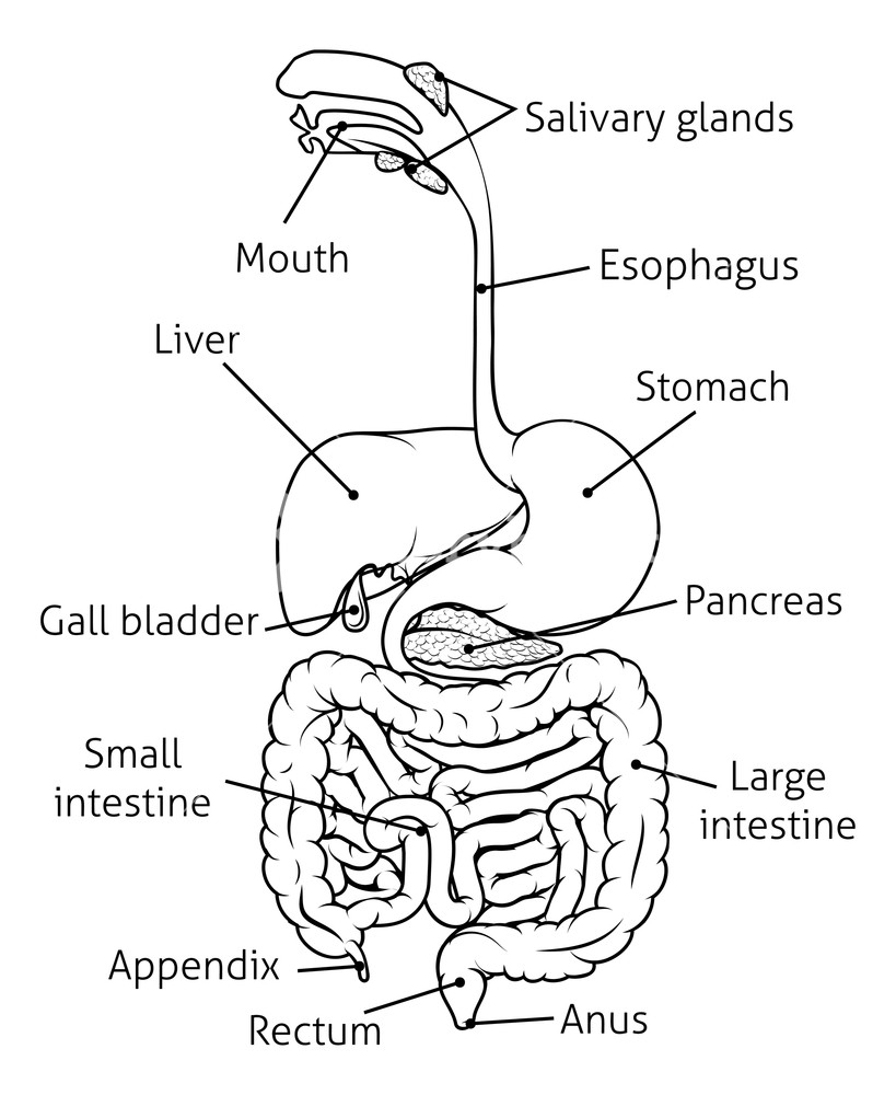 Diagram Of The Digestive System Human Digestive System Digestive Tract Or Alimentary Canal With