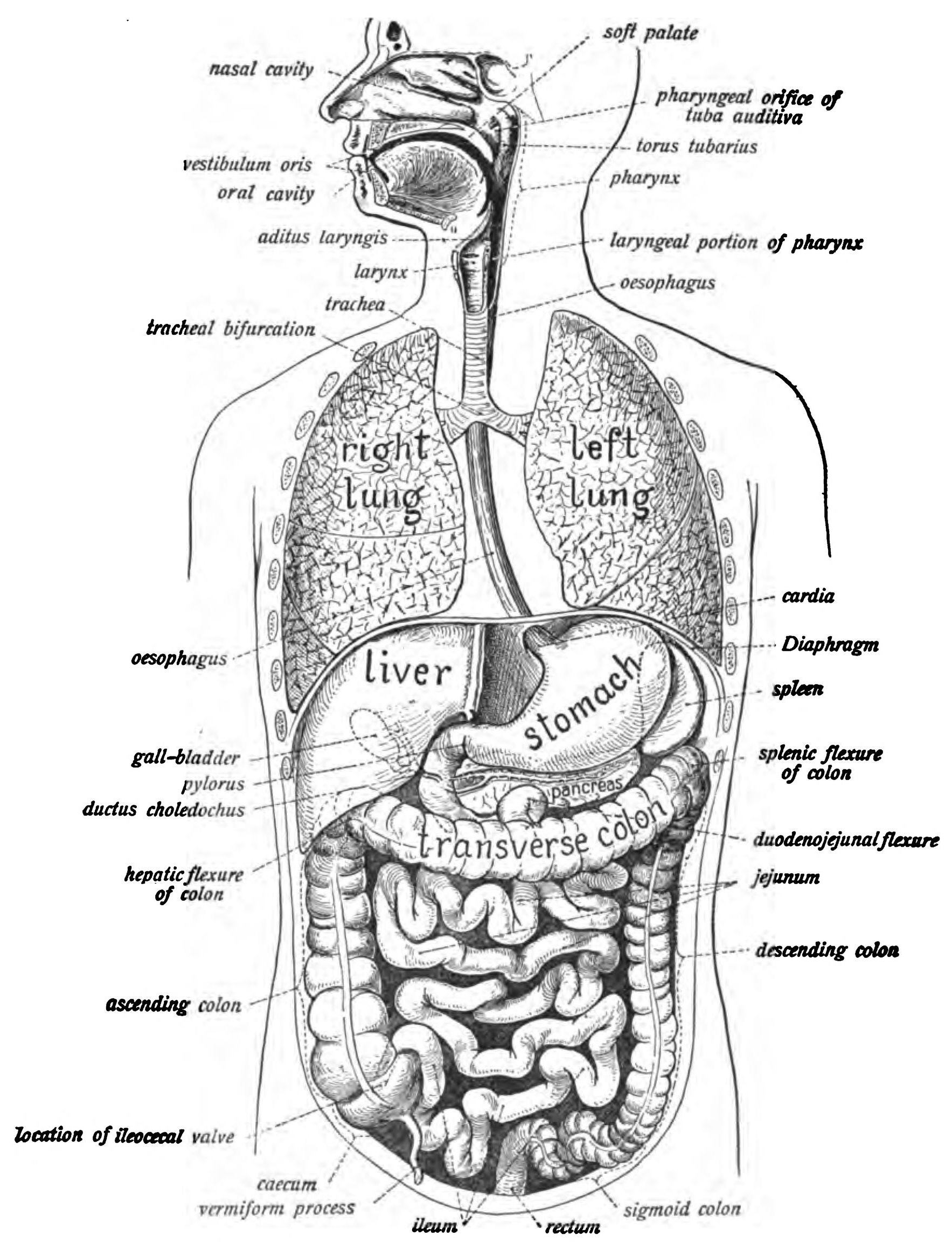 Diagram Of The Digestive System Human Digestive System Wikipedia