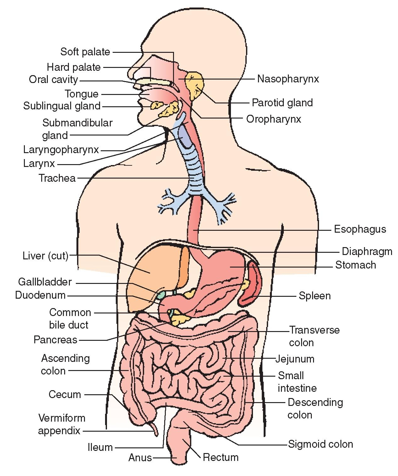 Diagram Of The Digestive System Sketch Of Human Digestive System At Paintingvalley Explore
