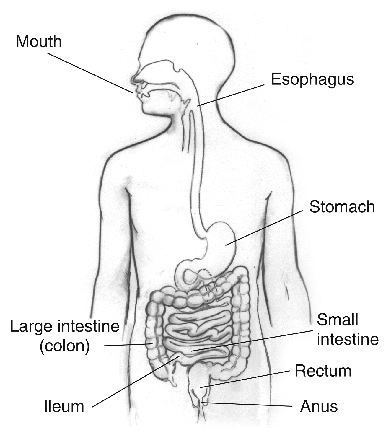 Diagram Of The Digestive System The Digestive System Lesson 0389 Tqa Explorer