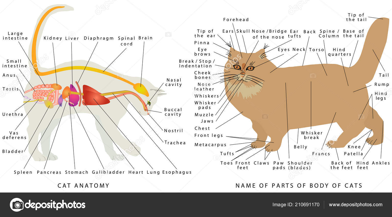 Diagram Of The Liver Cat Liver Diagram Wiring Diagram Review