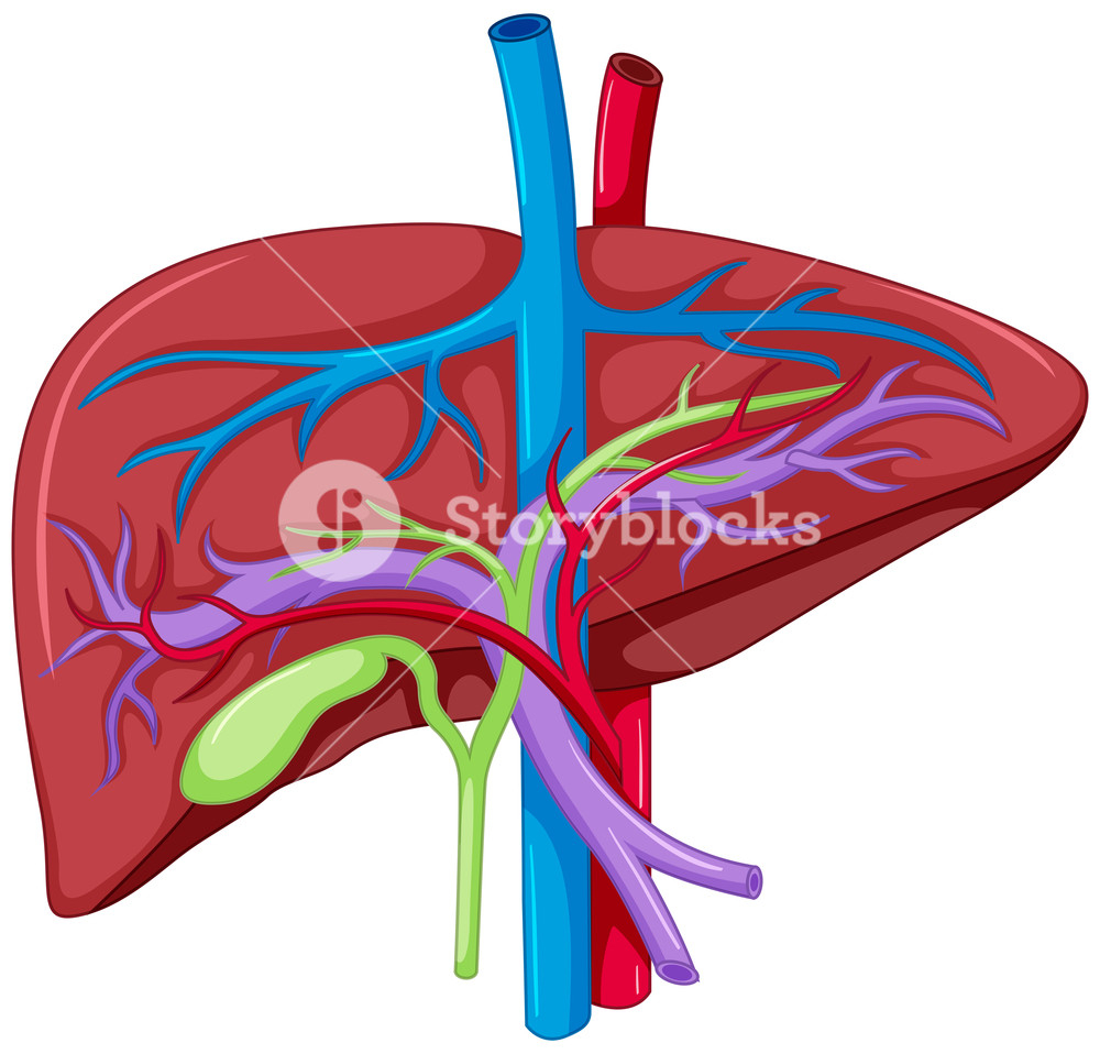Diagram Of The Liver Close Up Diagram Of Liver Anatomy Illustration Royalty Free Stock