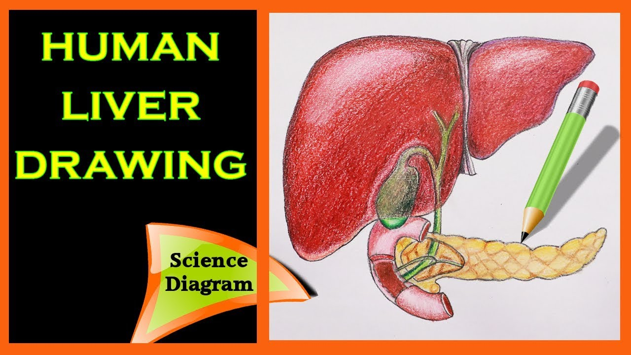 Diagram Of The Liver How To Draw The Human Liver The Human Liver Easy Draw Tutorial Science Diagram Biology