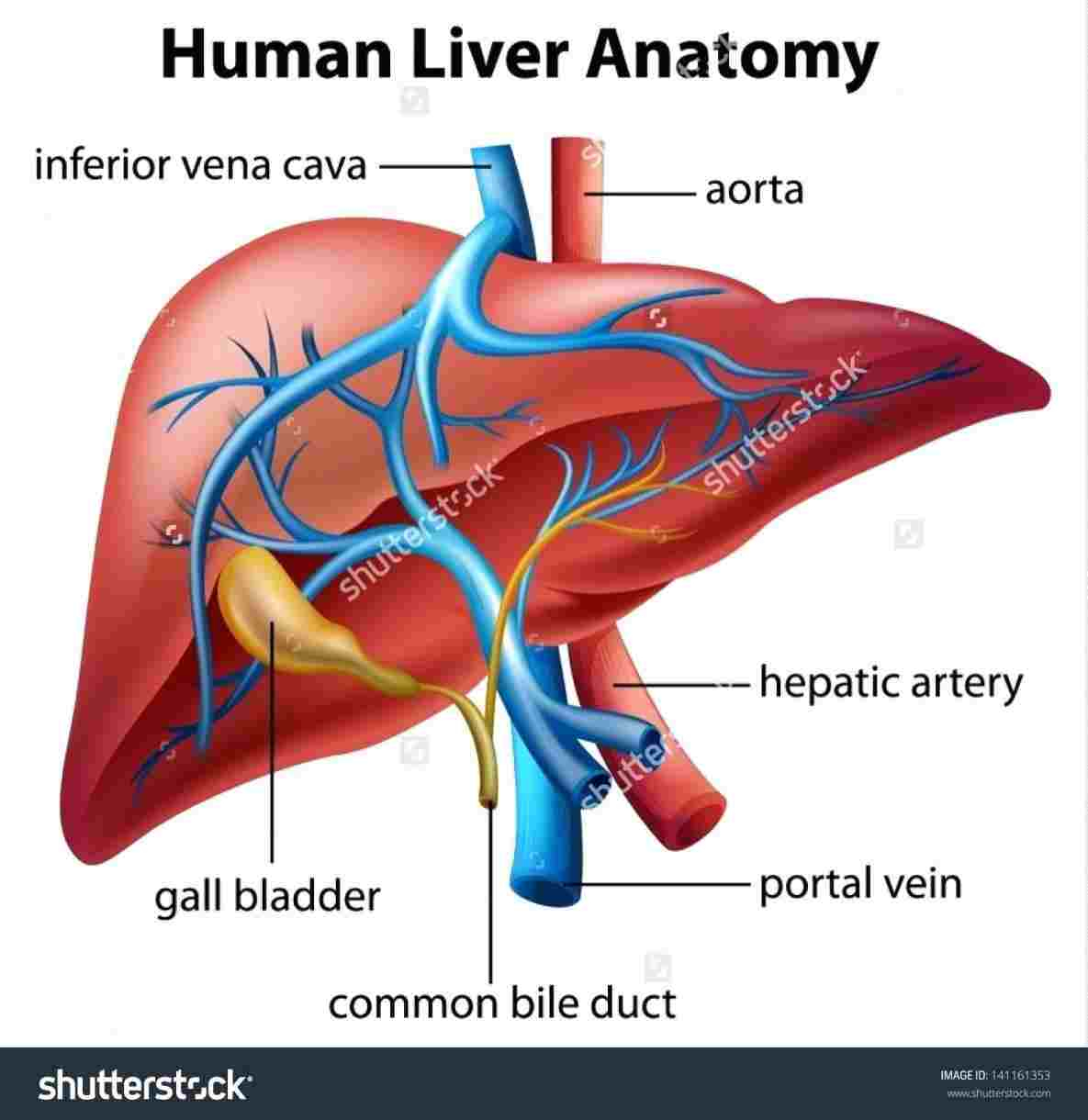 Diagram Of The Liver Human Anatomy Liver And Kidneys Diagram Diagram Of Anatomy