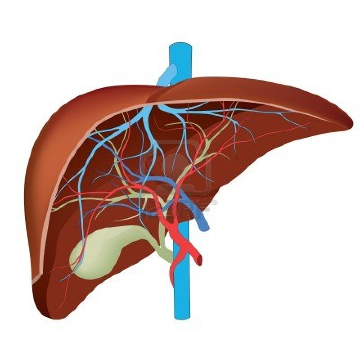 Diagram Of The Liver Human Liver Diagram Drawing