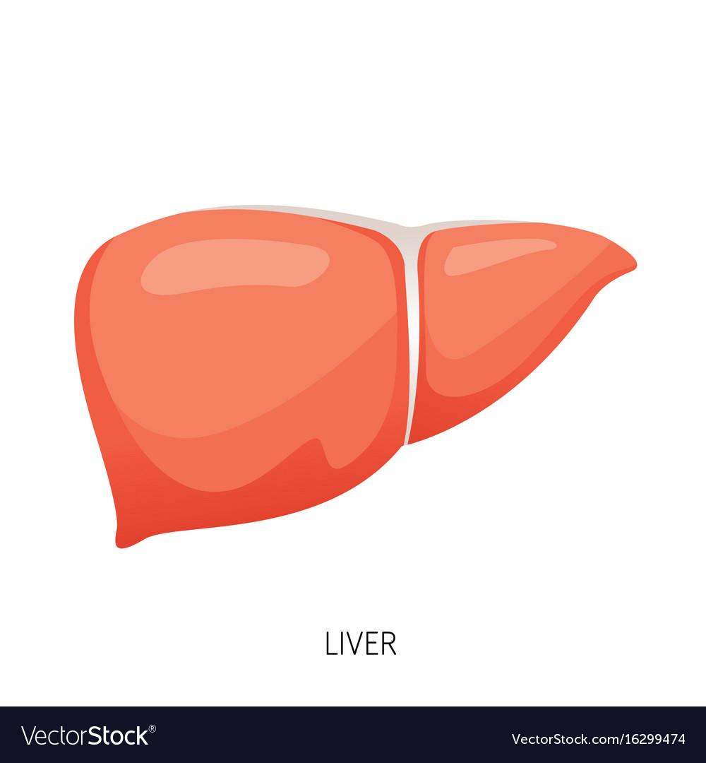 Diagram Of The Liver Liver Human Internal Organ Diagram