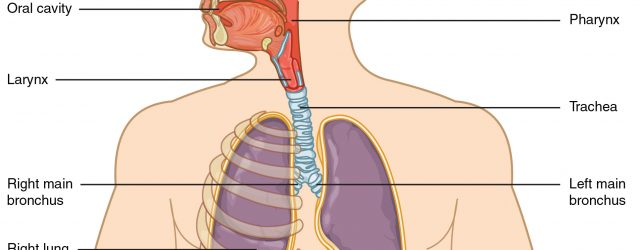 Diagram Of The Respiratory System 221 Organs And Structures Of The Respiratory System Anatomy And
