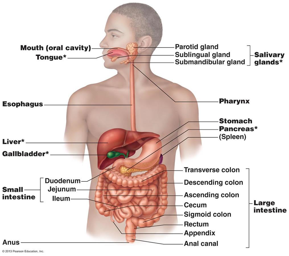 Digestive System Diagram Biology Animal Nutrition Digestive System Diagram Quizlet