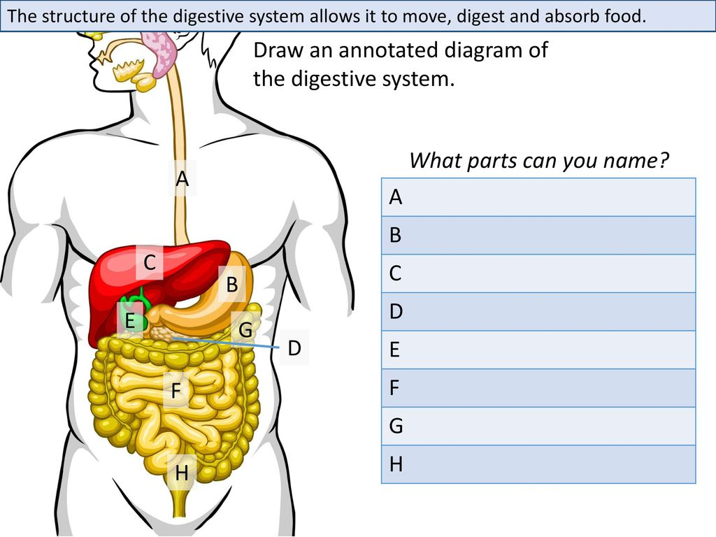 Digestive System Diagram Draw An Annotated Diagram Of The Digestive System Ppt Download