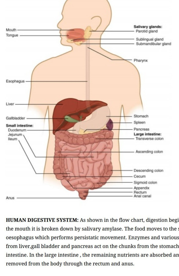 Digestive System Diagram Explain Digestive System In Humans With The Help Of A Diagram