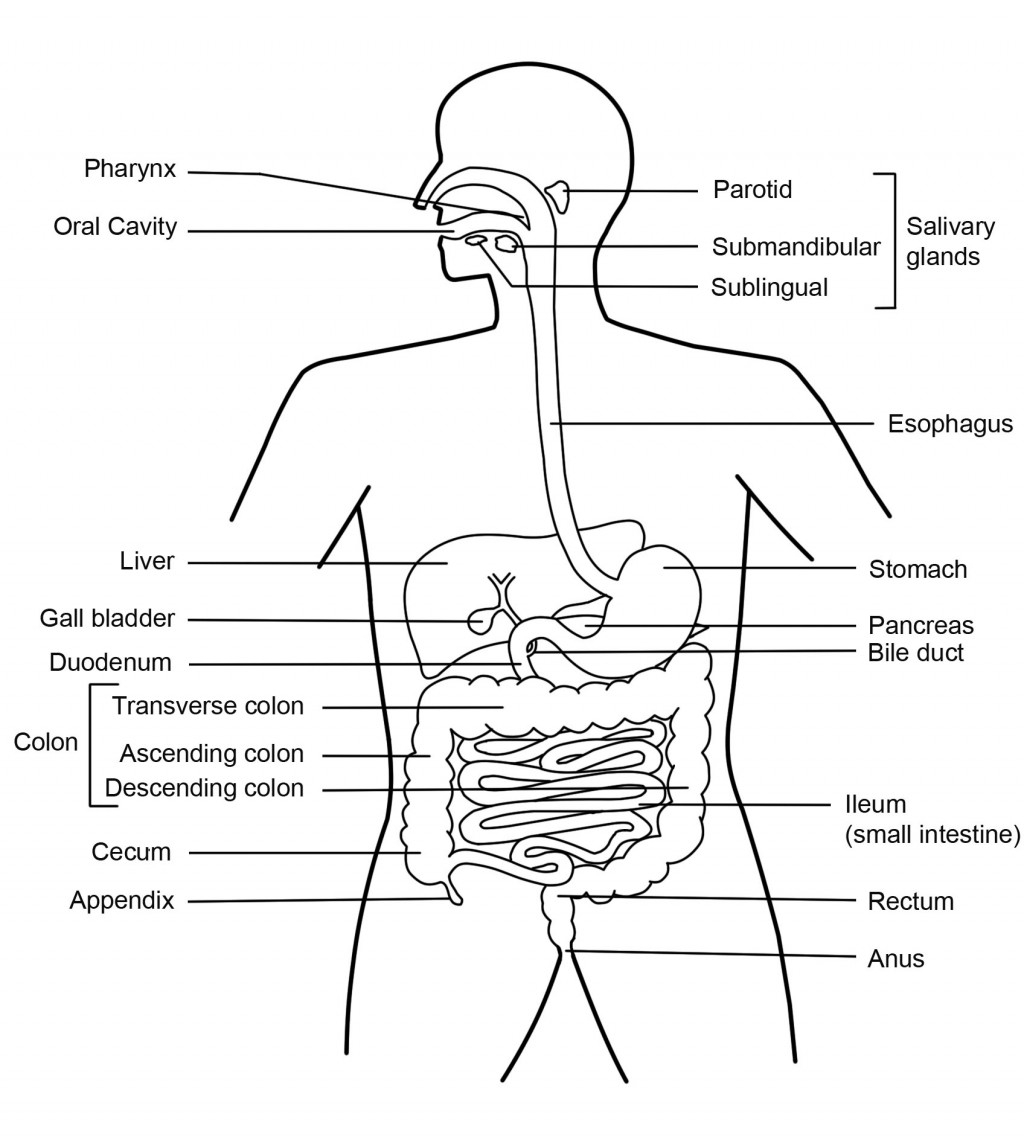 Digestive System Diagram Function Of The Digestive System Hubpages
