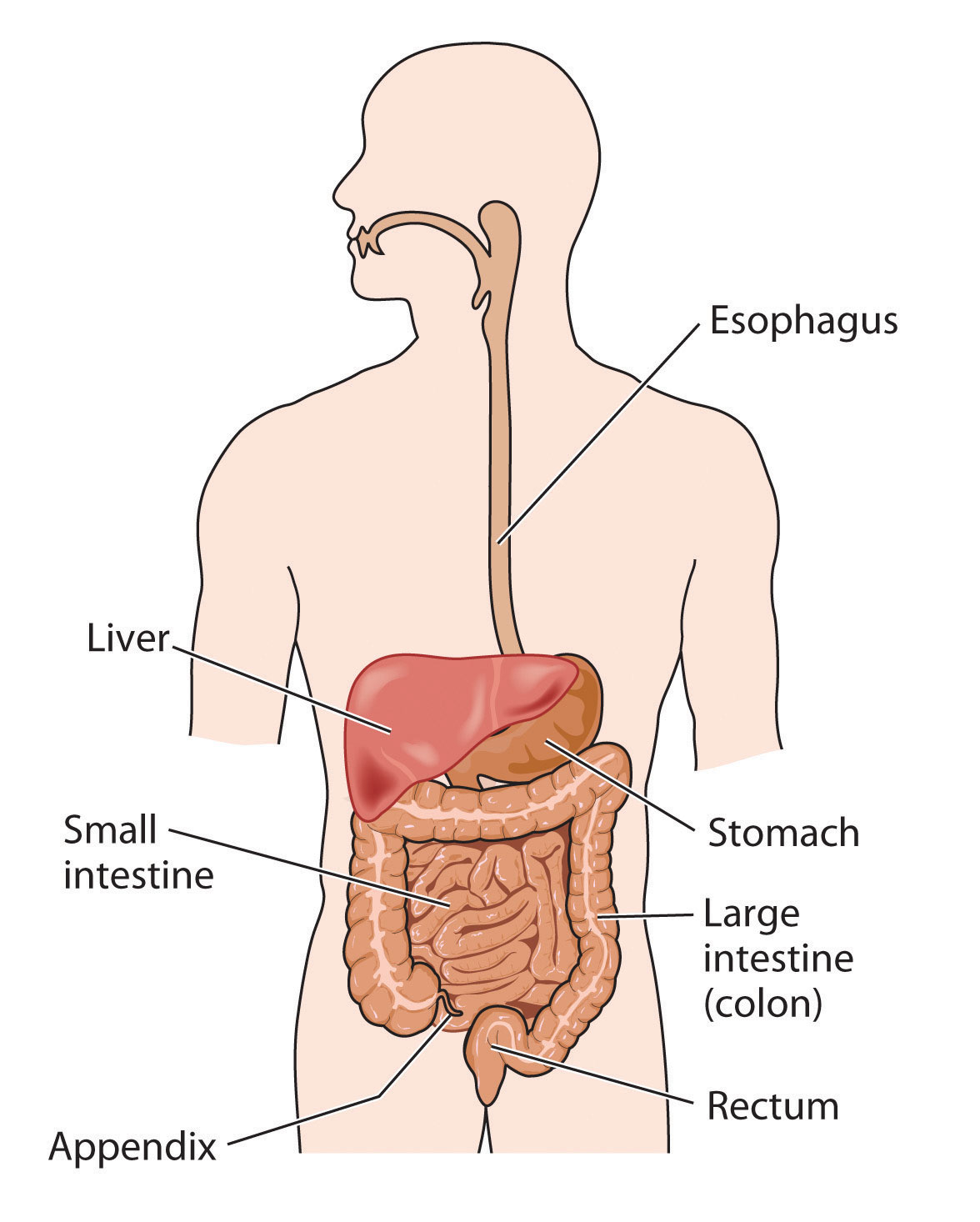 Digestive System Diagram The Digestive System Lesson 0389 Tqa Explorer