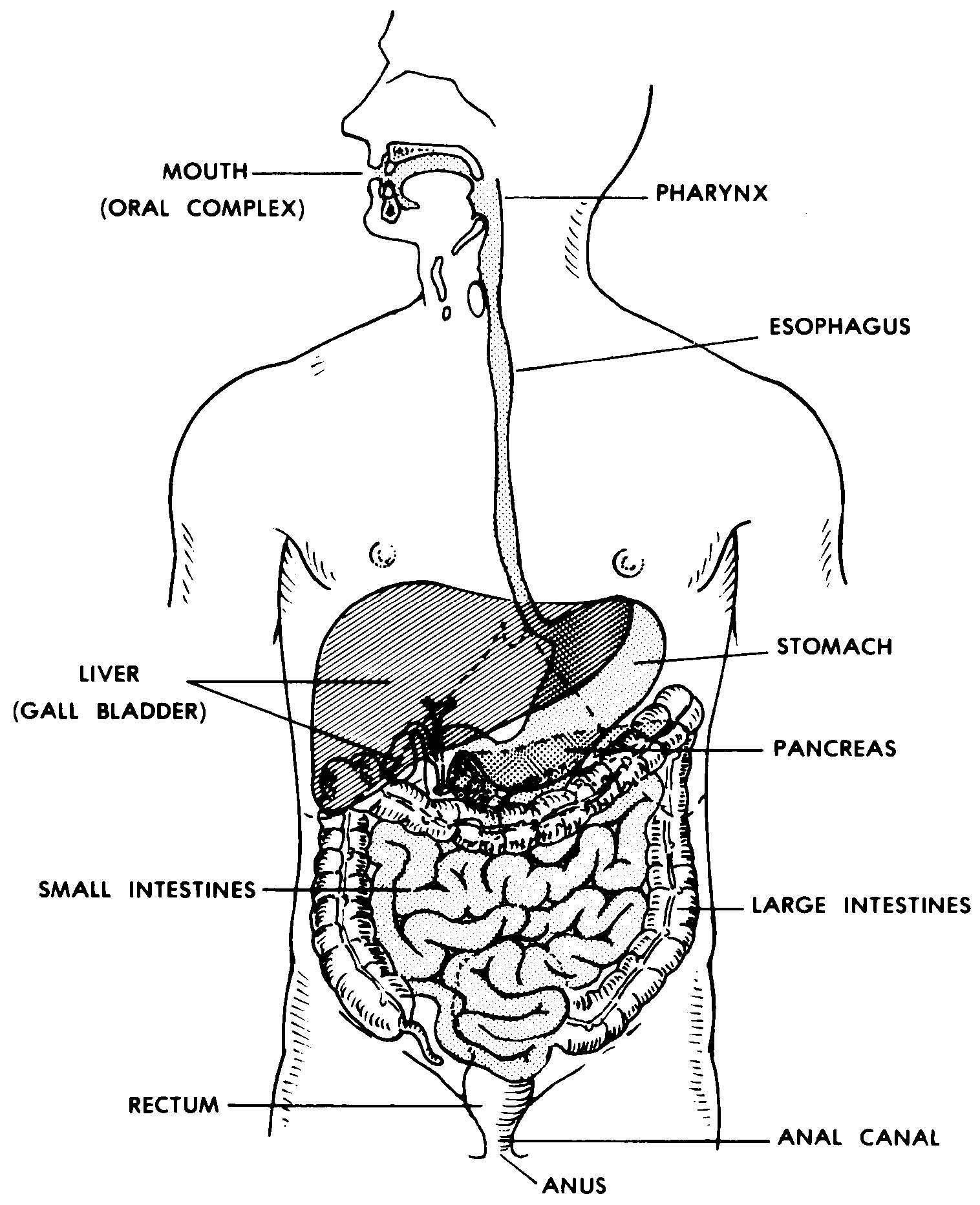Digestive System Diagram Worksheet Amusing Worksheet Human Digestive System On Images 06 Digestive