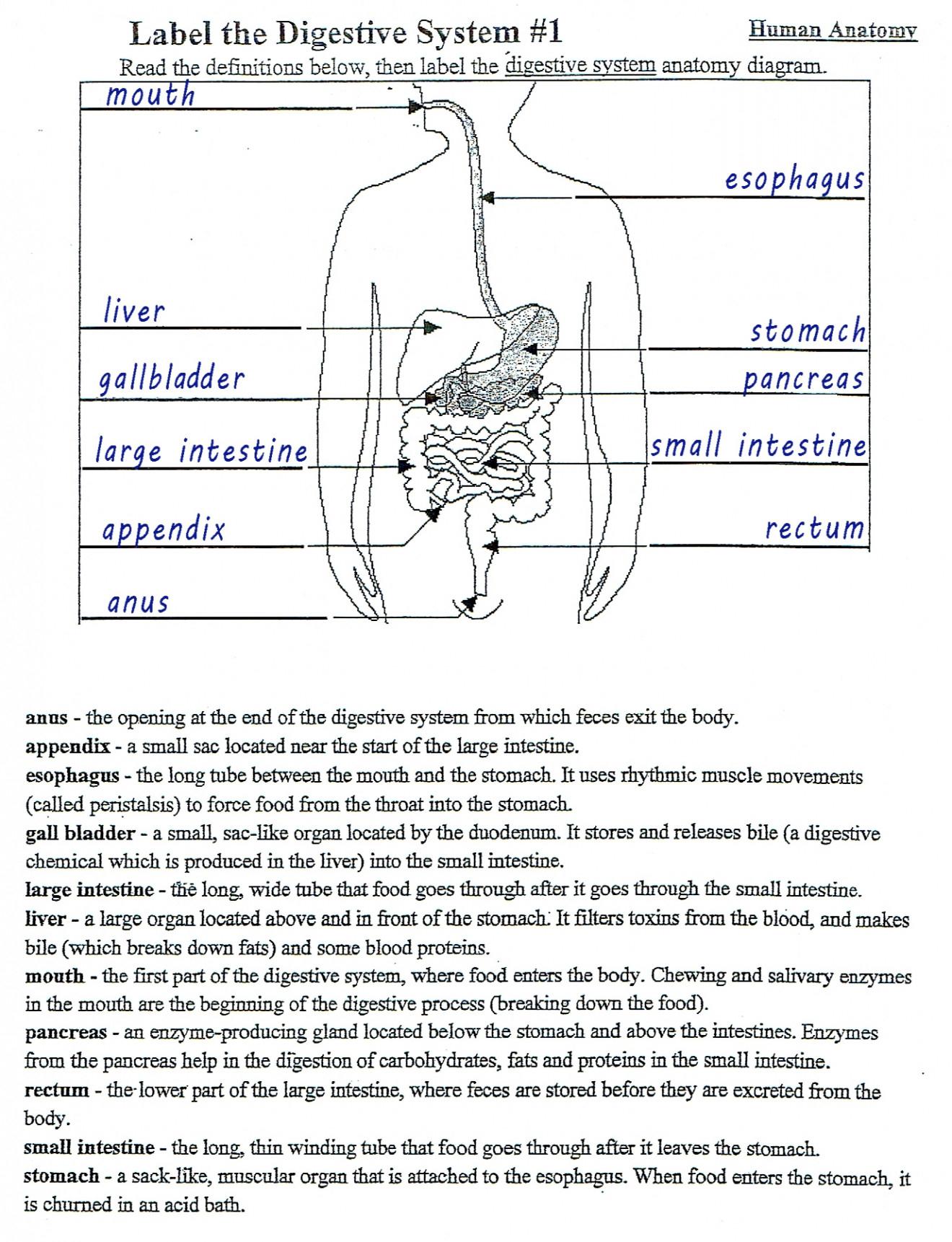 Digestive System Diagram Worksheet Anatomy Of The Digestive System Key Wwwzionschool
