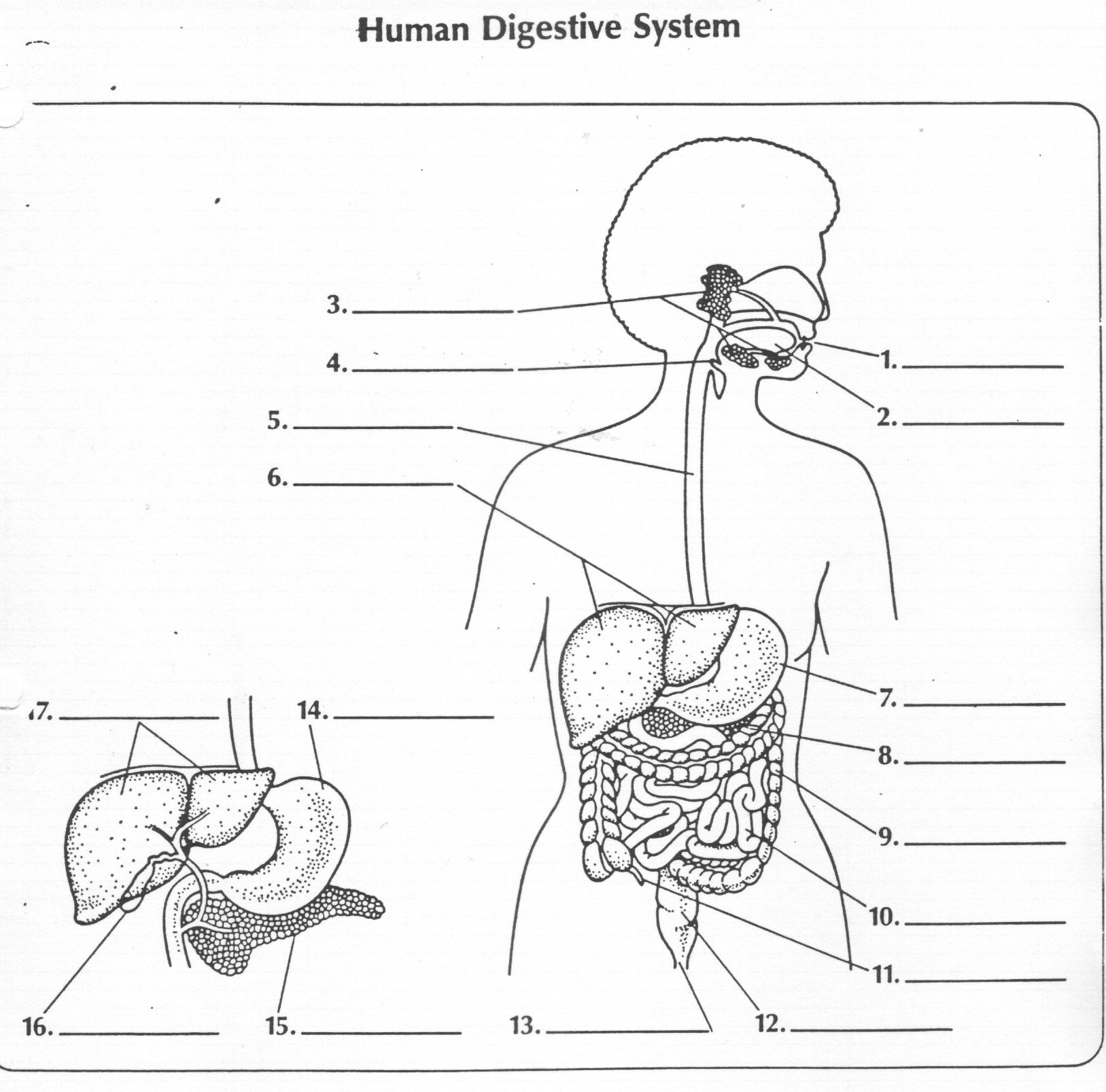 Digestive System Diagram Worksheet Digestive Diagram Non Label Wiring Library