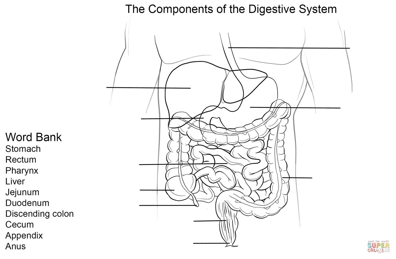 Digestive System Diagram Worksheet Digestive System Coloring Diagram Jaer