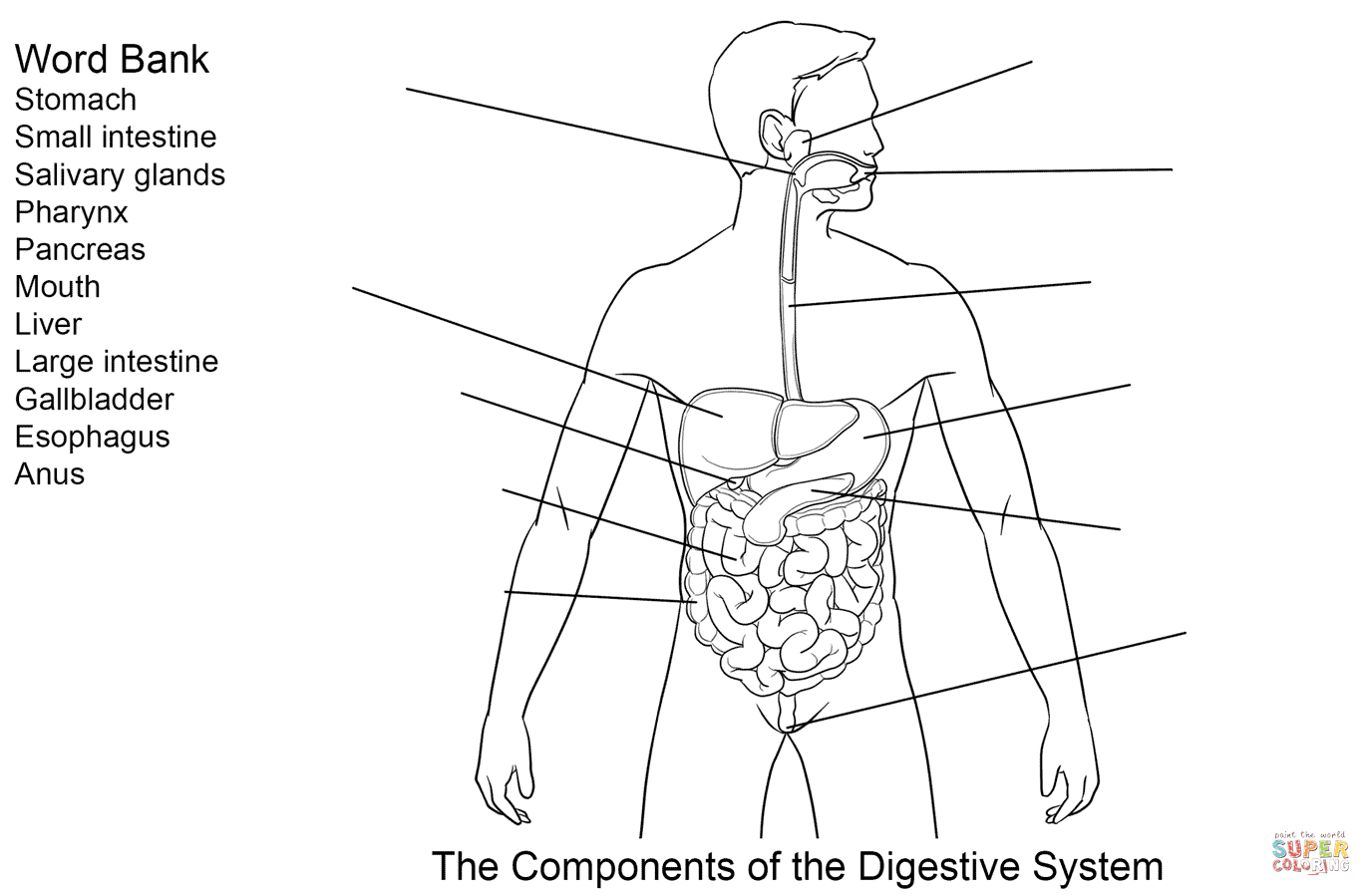 Digestive System Diagram Worksheet Digestive System Coloring Sheet Pdf S Tract Human Oloring Pages