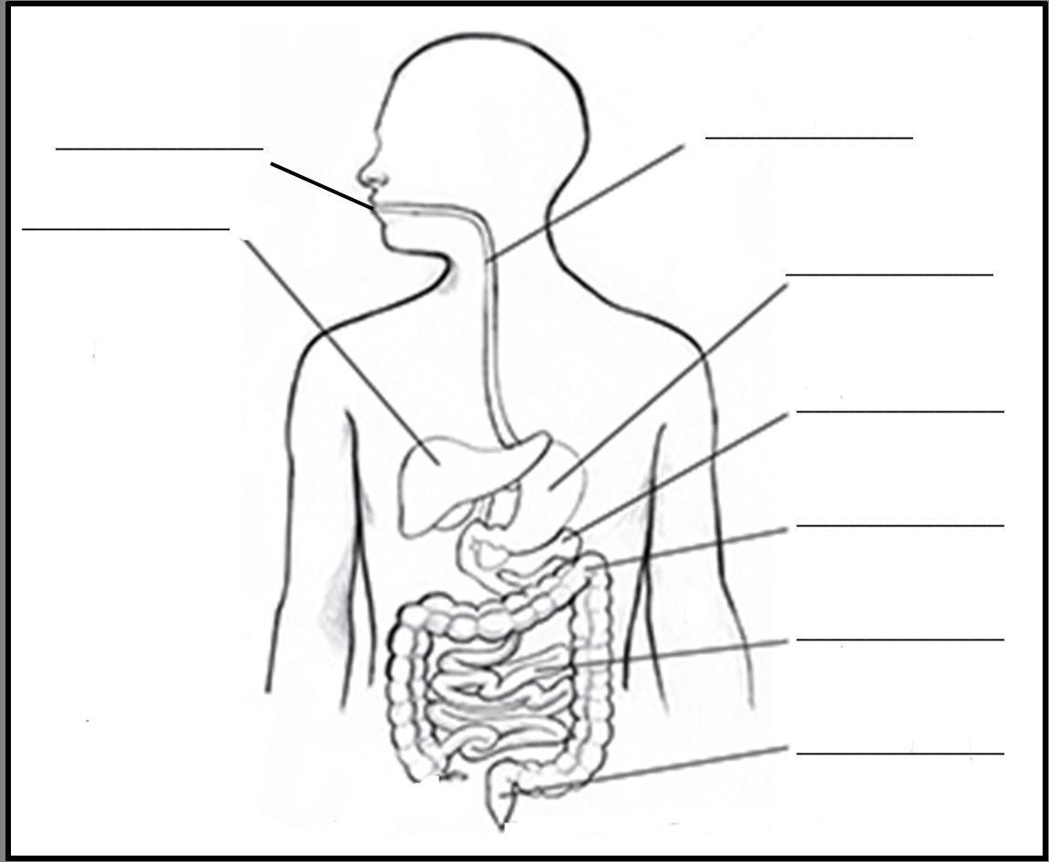 Digestive System Diagram Worksheet Digestive System Diagram Blank Awesome Digestive System Electrical