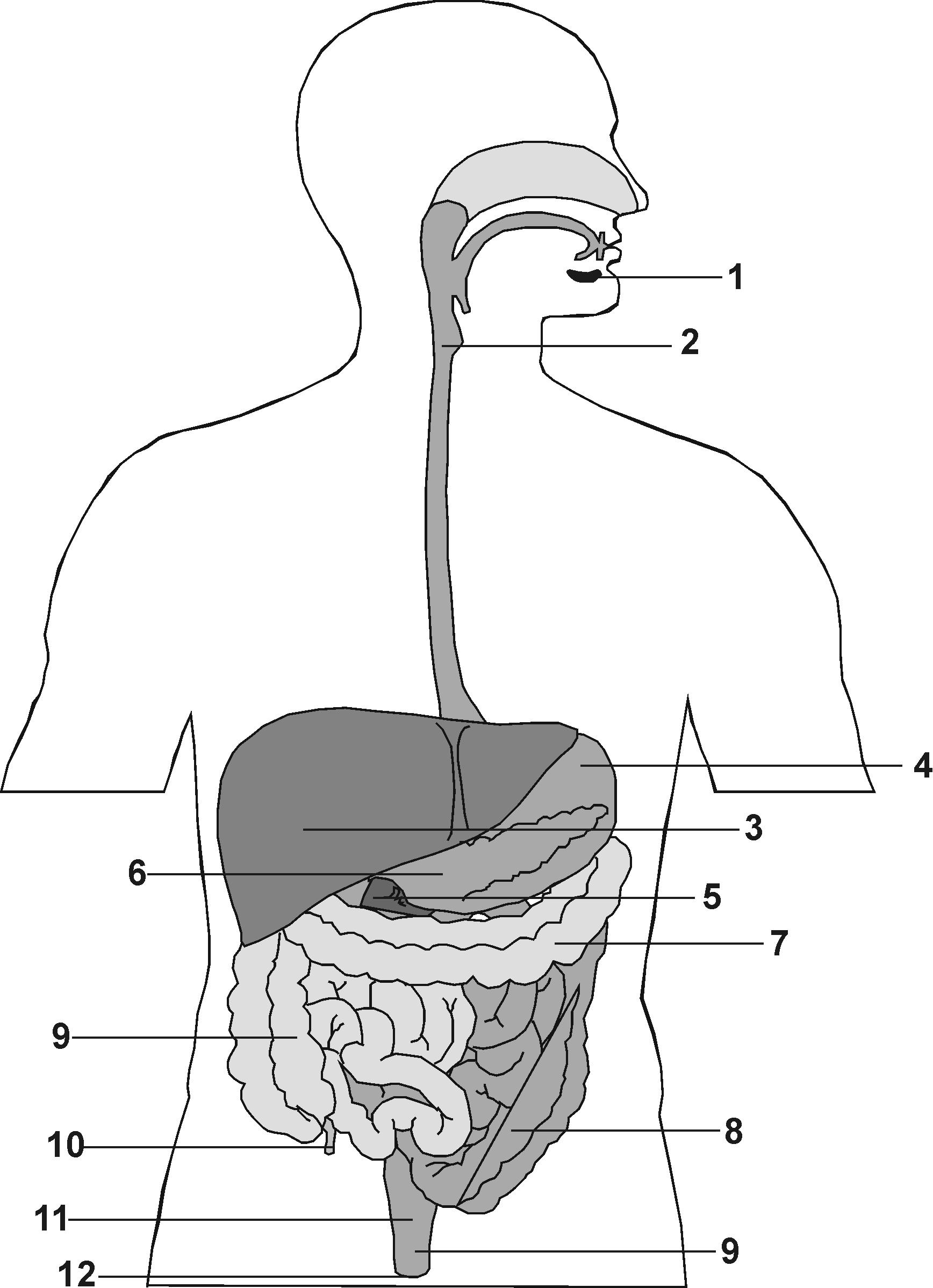 Digestive System Diagram Worksheet Digestive System Diagram Worksheet The Best Worksheets Image