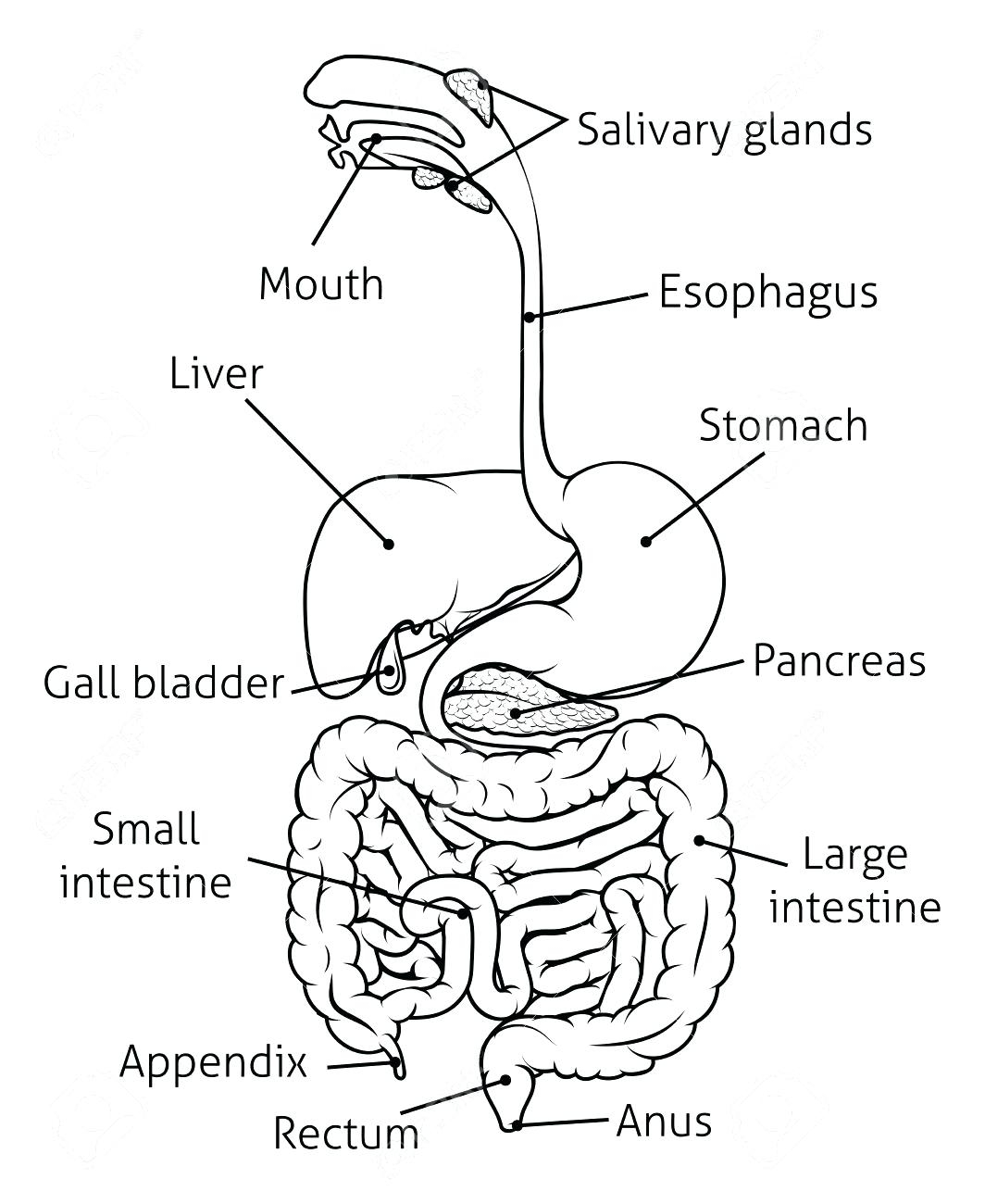 Digestive System Diagram Worksheet Digestive System Drawing At Getdrawings Free For Personal Use