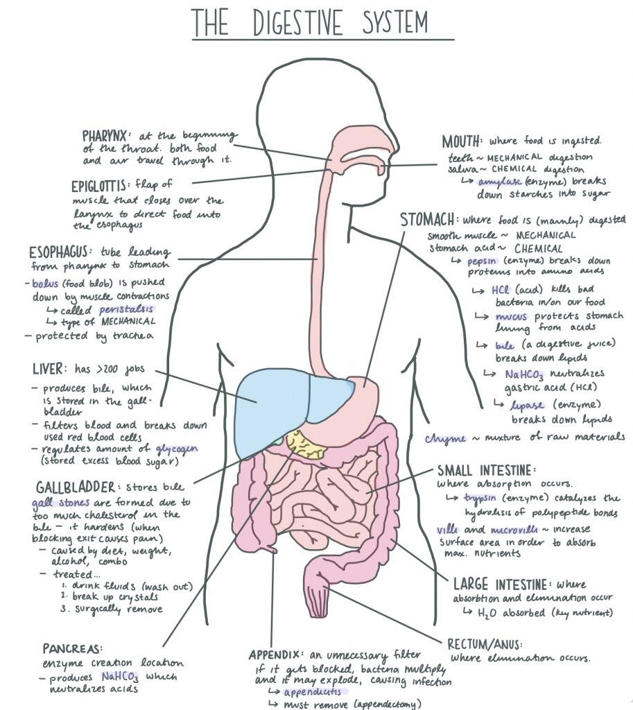 Digestive System Diagram Worksheet Digestive System Facts Cool Kid Facts
