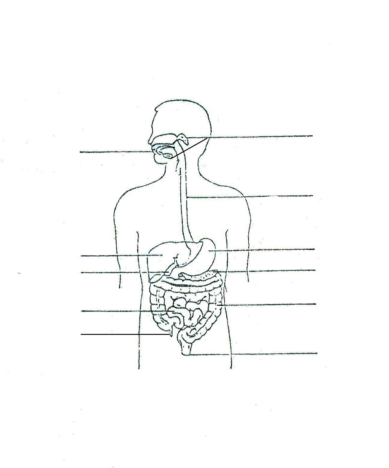 Digestive System Diagram Worksheet Digestive System Sketch At Paintingvalley Explore Collection
