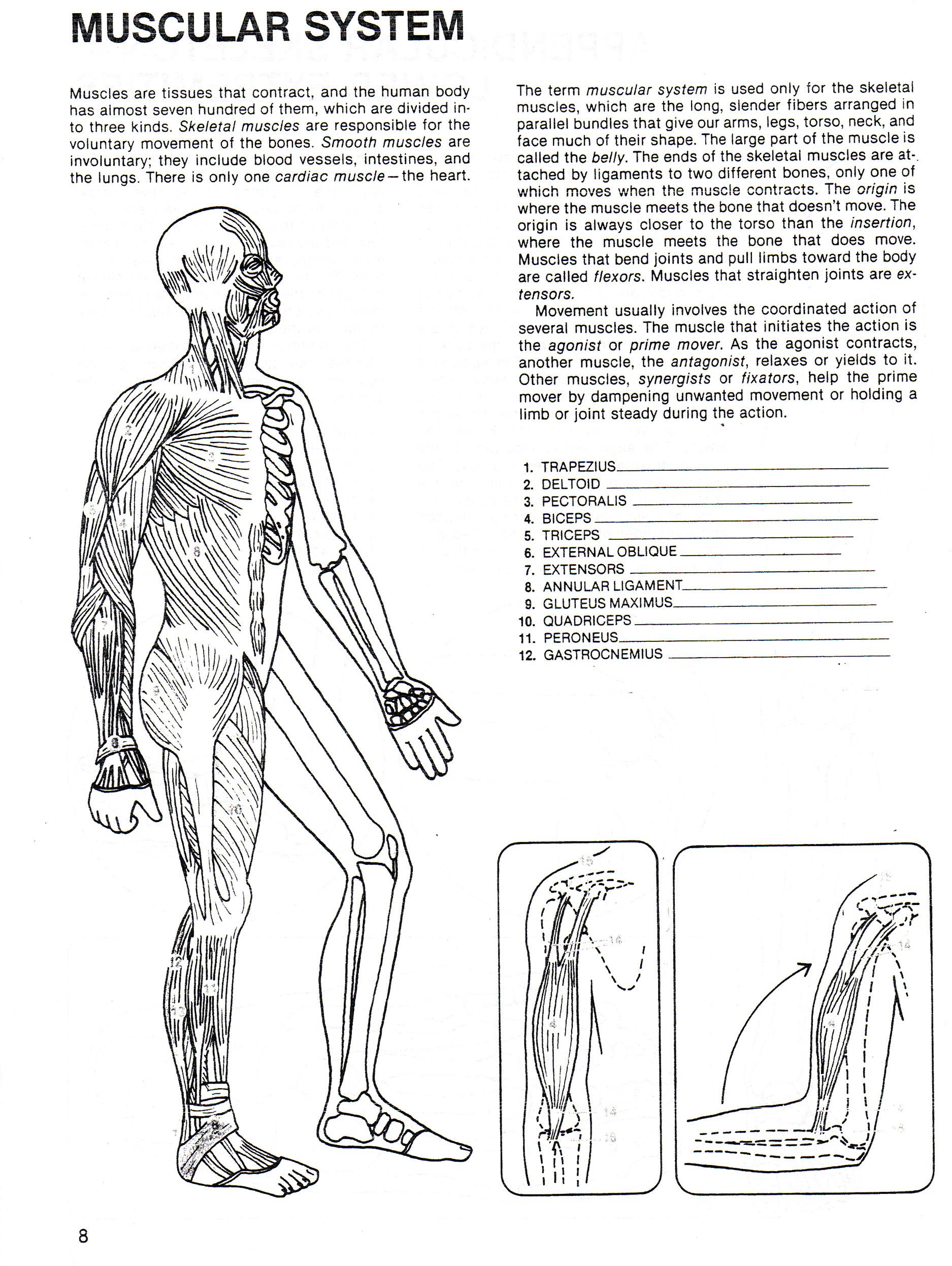 Digestive System Diagram Worksheet Digestive System Worksheets Kindergarten Justswimfl