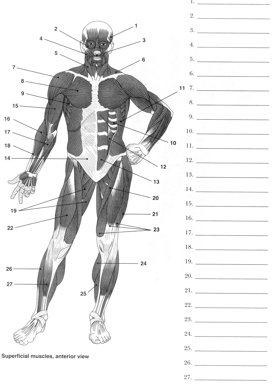 Digestive System Diagram Worksheet Muscle Diagram With Labels Fresh 27 Best Human Digestive System